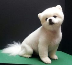 Pomeranian teddy bear trim, puppy cut, white pomeranian groom Source by GroomingPDX The post Pomeranian teddy bear trim, puppy cut, white pomeranian groom appeared first on Sellers Canines.