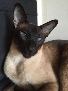 Siamese Kittens Don't Get Bit — X-treme Wedge Head Siamese The Siamese cat is one. Siamese Kittens, Cats And Kittens, Tabby Cats, Funny Kittens, Bengal Cats, White Kittens, Kitty Cats, I Love Cats, Cool Cats