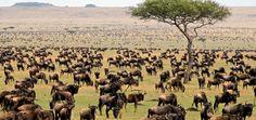 Wildebeest migration In Serengeti National Park, Tanzania