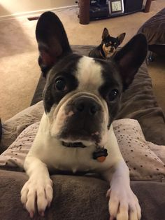 French Bulldog gets photo bombed by a Chihuahua.