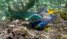 Parrotfish and a Queen Angelfish on the Looe Key reef Florida