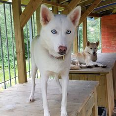 Fineste prinsesse Hope 😍 🐾 🐾 Darf ich vorstellen ! Unsere Prinzessin Hope 😍 🐾 🐾 #siberianhuskies #siberianhusky #siberianhusky_feature… Husky, Dogs, Animals, Princess, Animales, Animaux, Doggies, Animal, Animais