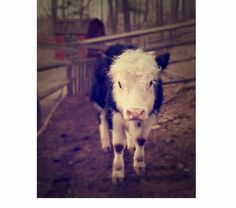 Hey, I found this really awesome Etsy listing at https://www.etsy.com/listing/184856471/cow-print-cow-photography-farm-print