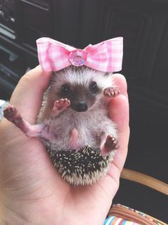 Baby hedgehog with pink bow. Hedgehog Pet, Cute Hedgehog, Cute Little Animals, Cute Funny Animals, Little Critter, Tier Fotos, Hamsters, Cute Animal Pictures, Cute Creatures