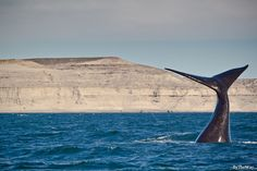 Southern right whale in Valdes Peninsula - Argentina. Visit us! From June to December.