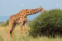 Girafa Masai (Giraffa tippelskirchi) feeding-on-a-tree-Kenya. As girafas têm sido pouco estudadas em comparação com outros grandes animais, como elefantes, rinocerontes, gorilas e leões. Os últimos dados mostram que há quatro espécies diferentes de girafas que, aparentemente, não acasalam umas com as outras na natureza.