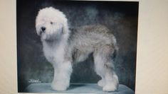Old English Sheepdog puppy or rescue please call or text 214-448-2888 .... texassheepdogpup@gmail.com....Akc Export for Britz Royal Croft family