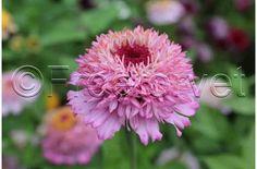 Frøkenhat - stor udvalg at frøkenhat i enkelte farve og miks farver - køb frø her Zinnias, Plants, Flora, Plant