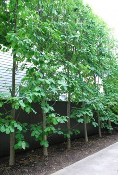 Border plants on pinterest garden borders hedges and for Small narrow trees for gardens