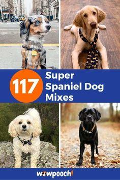 List Of Spaniel Mix Breed Dogs  #1 Affen Spaniel – (Affenpinscher x Cocker Spaniel mix) From:Imgur  #2 Afghan Spaniel – (Afghan Hound x Cocker Spaniel mix) From:Imgur  #3 Aussalier – (Australian Shepherd x Cavalier King Charles Spaniel mix) From:Imgur  Related Reading: Cavalier King Charles Spaniel Dog Breed Information  #4 … 117 Super Spaniel Dog Mixes – The Perfect List Of Spaniel Dog Breeds Read More » Cocker Spaniel Mix, Clumber Spaniel, American Cocker Spaniel, Spaniel Dog, Training Tips, Dog Training, Dog Crossbreeds, Rottweiler Mix, Pug Mix