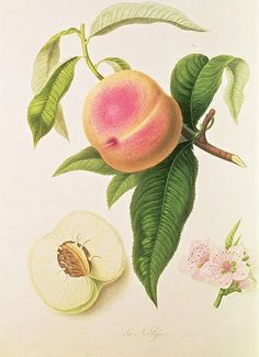 Noblesse peach by William Hooker didn't meet the accuracy requirements of the American pomologists.