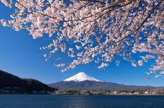 The image, cherry blossoms framing Mount Fuji, is a common postcard view, thanks to its lake-surroun. Cherry Blossom Season, Cherry Blossom Tree, Blossom Trees, Cherry Tree, Blossom Flower, Cherry Blossom Watercolor, Watercolor Flowers, Beautiful Flowers, Beautiful Pictures