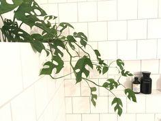 Rhaphidophora tetrasperma stor stickling `Minimonstera` `Philodendron Minima` Poisonous House Plants, Office Plants, Barbie Dream House, Houseplants, Indoor Plants, Greenery, Plant Leaves, Flora, Dream Life