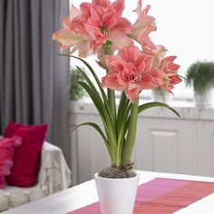 Pink, Green and Soft White, Amaryllis Amaryllis Sweet Nymph 32/34cm from Longfield Gardens, Double Layered Amaryllis.  Shimmering pink petals and strong, stout stems make this a beautiful gift.