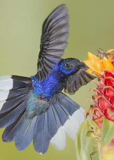 """Violet Sabrewing ~ By Jim Frandeen ~ Costa Rica ~ Miks' Pics """"Fowl Feathered Friends lV"""""""