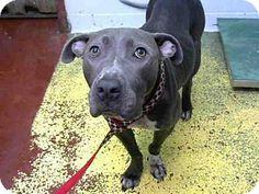 🔥🔥🔥Atlanta, GA - American Pit Bull Terrier Mix. Meet WILLOW, a dog for adoption. http://www.adoptapet.com/pet/16563425-atlanta-georgia-american-pit-bull-terrier-mix