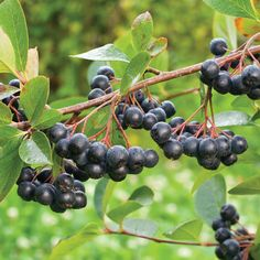 A container-friendly, ornamental shrub with antioxidant-packed fruits. This easy-to-grow native plant is loaded with Goji-like, wine-black berries...