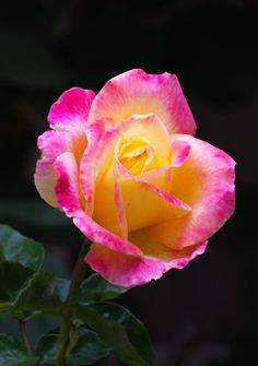 'Love and Peace' | Hybrid Tea Rose. Ping Lim (United States, 1991). | Flickr - © Rose-Beauty
