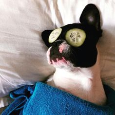 Monday morning @ollie_the_windy_city_frenchie
