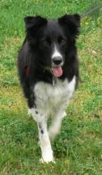 Scout is an adoptable Border Collie Dog in Mclean, VA. Scout Sex: Female Size: Medium Age: 2 years old Coat Length: Medium length Activity Level: Very active outside and mildly active inside Loc...