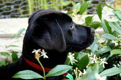 Labrador Puppy - Tammy by Chris, via Flickr