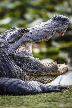Alligator in the Everglades, Florida