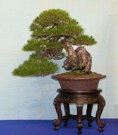 Pinus thunbergii by Mario Komsta; Oki 50 cm; Pot: Antique Chinese 'Nanban'
