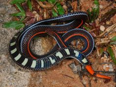 The Red-tailed coral snake or Banded Malayan coral snake, Calliophis intestinalis (Elapidae), is a small species with a powerful neurotoxic venom. The species is found in southern Thailand, the Malay Peninsula, Singapore, Java, Sumatra, Borneo and the Philippines. EEEEKKKK!!!!~