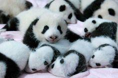 Conoce la guardería de osos panda más adorable del mundo | Cuidar de tu mascota es facilisimo.com