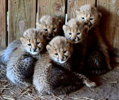 Five Baby Cheetahs Born at the Metro Richmond Zoo - Watch live video of five adorable cheetah cubs and their mother, Lana, who gave birth to them Oct. 6, 2013 at the zoo. The cubs are still secluded with their mother at the zoo so follow them as they grow via the Cheetah Cam.