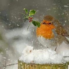 How beautiful! Winter bird watching is a great activity for families! Pretty Birds, Love Birds, Beautiful Birds, Animals Beautiful, Cute Animals, Beautiful Pictures, Robin Vogel, Robin Bird, Tier Fotos