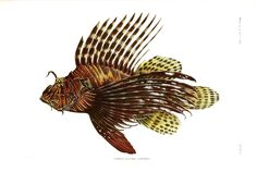 Animal - Fish - Samoa  (9)