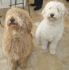 shaggy goldendoodles - this will be my house someday - 2 goldendoodles!