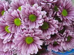purple pom pom daisy