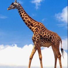 giraffes are so cute!!