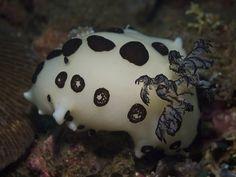 Nudibranch    Jorunna funebris.
