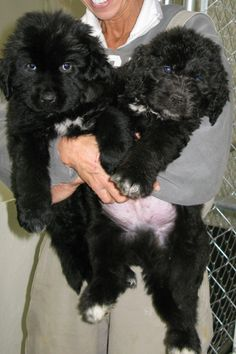 Newfkom puppies The non shedding , non drooling hybrid Newfoundland and Komondor hybrid Feathers And Fleece Farm Feathersandfleece.com