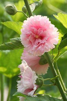 .flores rosas