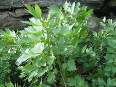 Lovage (perennial) - looks and tastes like celery on steroids. The plant can achieve a height of six feet and more, and its stems and leaves have a pleasantly strong, pungent taste. The crisp leaves make a marvelous salad, as the fat, hollow, pale-green stalks are delightful too. This is also the plant that provides us with the spice celery seed.