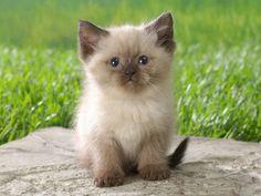 50 Himalayan cat (12)