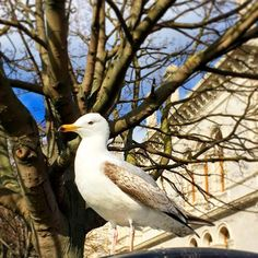 This guy loves posing for pictures!  #tcddublin #trinitycollegedublin #trinitycollege #seagull #nature #dublin #ireland #university #campus