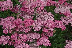 Click to view full-size photo of Pink Grapefruit Yarrow (Achillea 'Pink Grapefruit') at Stauffers Of Kissel Hill