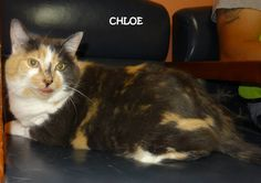 UPDATE-RESCUED! URGENT!! AVAILABLE NOW! OWNER SURRENDER Tag# 2494 Name is Chloe  Calico  Female-spayed! Large girl....4 paw declaw   https://www.facebook.com/267166810020812/photos/a.684429554961200.1073742053.267166810020812/684430218294467/?type=3&theater