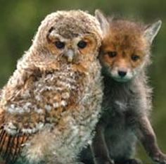unlikely friends..the owl and fox kit