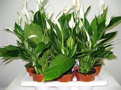 Какие цветы нужно держать в доме фото 5