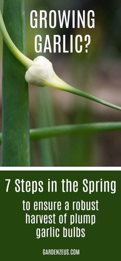 7 Steps in the spring to ensure a robust harvest of plump garlic bulbs this summer #garlic #gardening