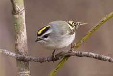 Golden-crowned Kinglet (Regulus satrapa) by Artem Rubtsov - Pixdaus