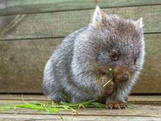 Interesting and Amazing Wombat facts. Find out how they care for their little babies and why you can only find them in one place. Felt Animals, Animals For Kids, Cute Baby Animals, Funny Animals, Cute Wombat, Cute Australian Animals, Australia Animals, Cute Animal Pictures, New Zealand