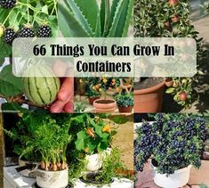 Recipes, Projects & More - 66 Things You Can Grow In Containers