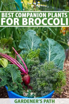 Broccoli is a popular veggie, and it's easy to grow your own. But what should you plant nearby? Knowledge of the best companion plants can help to balance out its heavy feeding habits and repel pests. Plus, find out which plants benefit the most from broccoli's towering shade. #broccoli #companionplants #gardenerspath